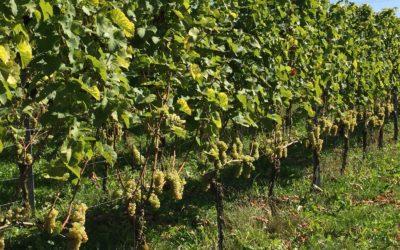 Achterhoekse wijn is aan opmars bezig